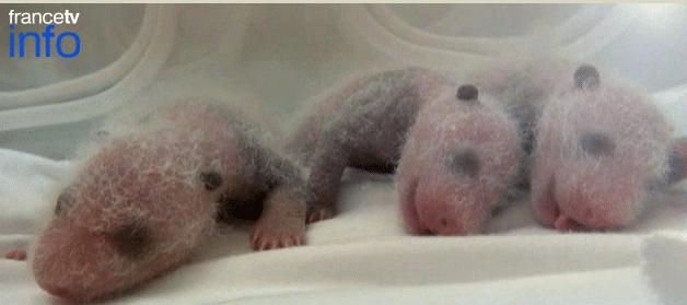 triplés pandas