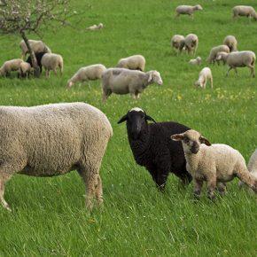 mouton qui a tué glenn